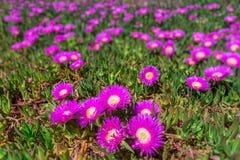 Côte marine de fleurs du Portugal Ressort dans Algarve Photographie stock libre de droits
