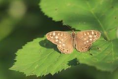Cętkowanego drewnianego motyliego Pararge aegeria odgórny widok Fotografia Stock