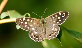 Cętkowany drewniany motyl przy odpoczynkiem Obrazy Stock