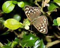 cętkowany motyla drewno Zdjęcie Stock