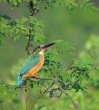 Cętkowany ptak Zdjęcia Royalty Free
