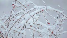 33c ural χειμώνας θερμοκρασίας της Ρωσίας τοπίων Ιανουαρίου Οι Μπους και χλόη στο χιόνι φιλμ μικρού μήκους