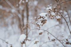 33c 1月横向俄国温度ural冬天 杉木在雪之下的分行结构树 免版税库存图片