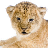 C van de Welp van de leeuw royalty-vrije stock afbeeldingen