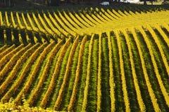 C van die door een wijngaard in de Heuvels overgaan Stock Afbeelding