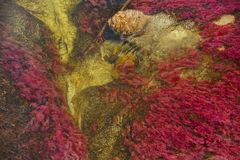 Caño Cristales el río de siete colores Foto de archivo