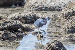 Caça adulta do caerulea do Egretta da garça-real de azul pequeno no rochoso imagem de stock royalty free