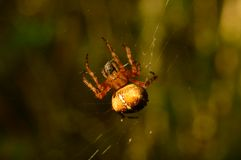 Caça bem sucedida da aranha em sua teia de aranha em uma manhã ensolarada adiantada Imagens de Stock