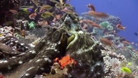 Caça bonita do polvo para o alimento no recife do mar video estoque