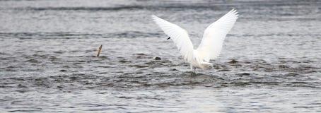 Caça branca da sombra do Egret com suas asas na conserva de natureza em San Jose del Cabo em Baja California México imagem de stock royalty free