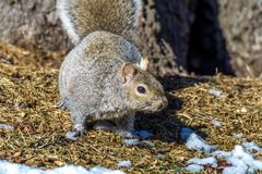 Caça cinzenta do esquilo para o alimento Imagem de Stock