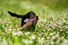 Caça consideravelmente preta do cão de Labrador no campo ensolarado do trevo Foto de Stock