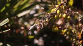 Caça da aranha Fotografia de Stock