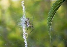 Caça da aranha (bruennichi do Argiope) foto de stock