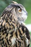 Caça da coruja de águia Imagem de Stock