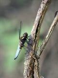 A caça da libélula Fotos de Stock