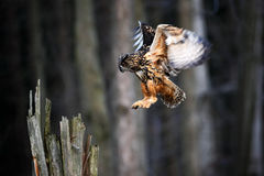 Caça da mosca de Eagle Owl do eurasian, cena do voo da ação com pássaro, animal no habitat da natureza, Suécia Fotos de Stock