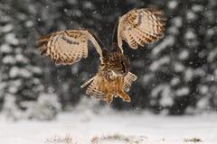 Caça da mosca de Eagle Owl do eurasian durante o inverno cercado com flocos de neve Fotos de Stock