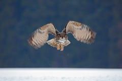Caça da mosca de Eagle Owl do eurasian durante o inverno cercado com flocos de neve Imagens de Stock
