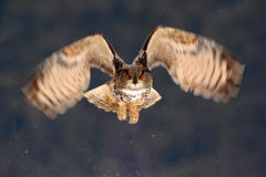Caça da mosca de Eagle Owl do eurasian durante o inverno cercado com flocos de neve, cena do voo da ação com pássaro, animal no h Fotografia de Stock Royalty Free
