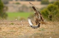 Caça da pomba da águia do busardo imagem de stock