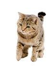 Caça de Cat Scottish Straight fotografia de stock royalty free