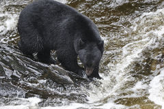 Caça do Alasca do urso preto para salmões na cama de rio Fotos de Stock