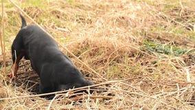 Caça do cão do bassê para toupeiras na terra do jardim coberta com a grama seca Metragem constante Handheld video estoque