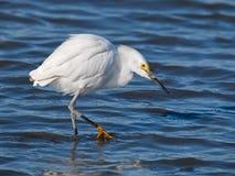 Caça do Egret nevado no pântano Imagem de Stock