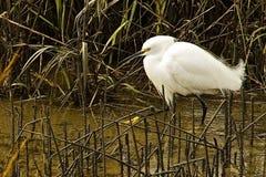 Caça do Egret nevado no pântano Foto de Stock
