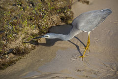 Caça do Egret pequeno Foto de Stock