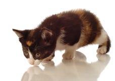 Caça do gatinho imagem de stock royalty free