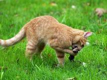 Caça do gato Imagem de Stock