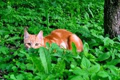 Caça do gato Imagens de Stock