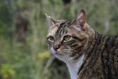 Caça do gato de Tabby Imagens de Stock Royalty Free
