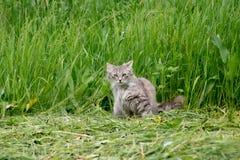A caça do gato doméstico Fotos de Stock