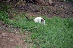 Caça do gato para um lagarto escondido 2 Foto de Stock