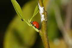 Caça do Ladybug Fotografia de Stock Royalty Free