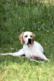 Caça do ponteiro do cão fotos de stock