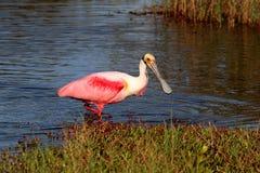 Caça do Spoonbill róseo na água Foto de Stock