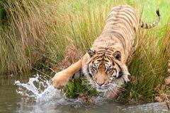 Caça do tigre para o alimento fotos de stock royalty free