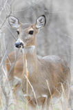 Caça dos cervos Imagem de Stock