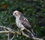 Caça Largo-voada juvenil do falcão Foto de Stock Royalty Free