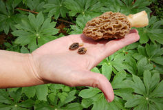 Caça para cogumelos do Morel imagens de stock