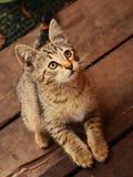 Caça pequena cinzenta do gatinho no país exterior Foto de Stock Royalty Free