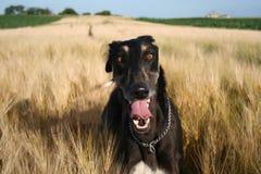 Caça polonesa do cão foto de stock