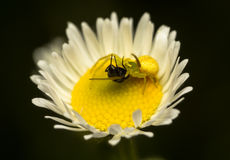Caçador amarelo Imagem de Stock Royalty Free