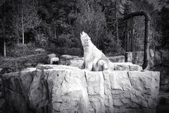 Caçador branco do urso polar - sentando-se Fotos de Stock