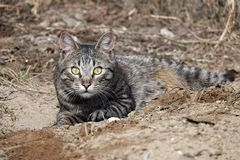 Caçador cinzento bonito do gato fotografia de stock