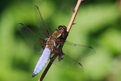 Caçador corpóreo largo masculino - depressa de Libellula Imagem de Stock